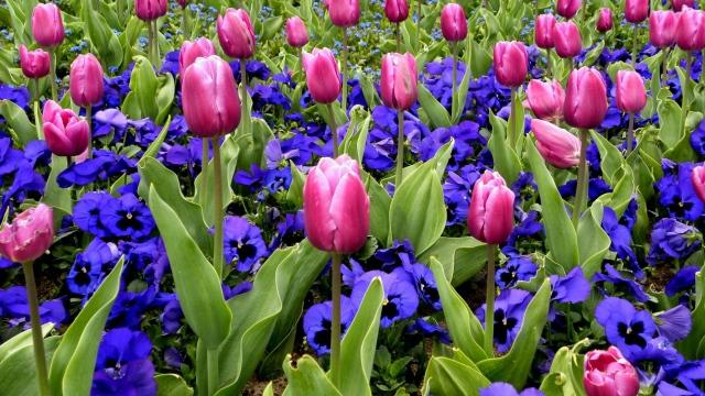 tulips_flowers_pansies_flowerbed_spring_43153_640x360